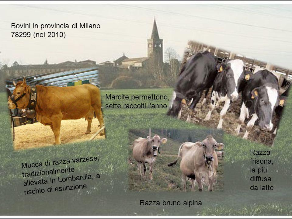 Bovini in provincia di Milano 78299 (nel 2010) Mucca di razza varzese, tradizionalmente allevata in Lombardia, a rischio di estinzione Razza bruno alp