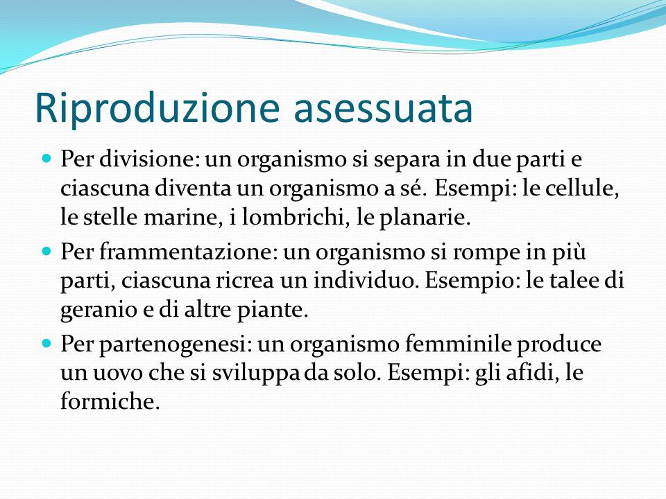 Riproduzione asessuata Per divisione: un organismo si separa in due parti e ciascuna diventa un organismo a sé. Esempi: le cellule, le stelle marine,