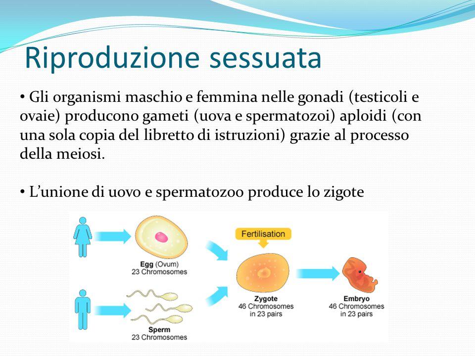 Riproduzione sessuata Gli organismi maschio e femmina nelle gonadi (testicoli e ovaie) producono gameti (uova e spermatozoi) aploidi (con una sola cop