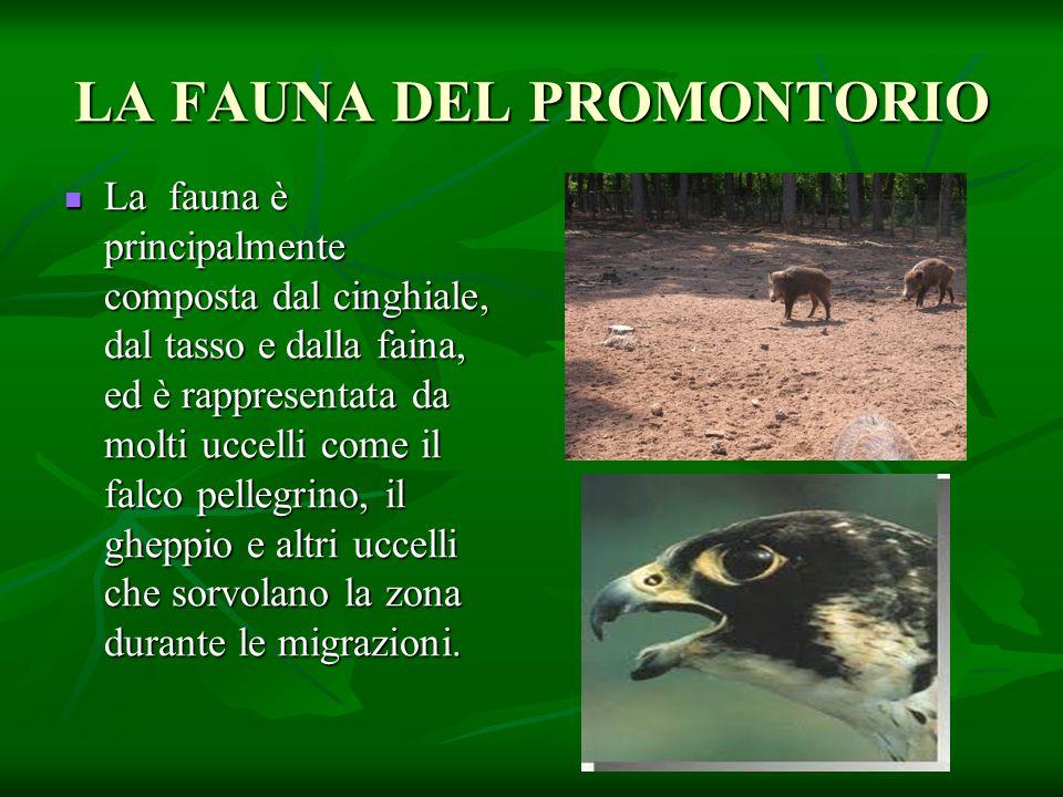 LA FAUNA DEL PROMONTORIO La fauna è principalmente composta dal cinghiale, dal tasso e dalla faina, ed è rappresentata da molti uccelli come il falco