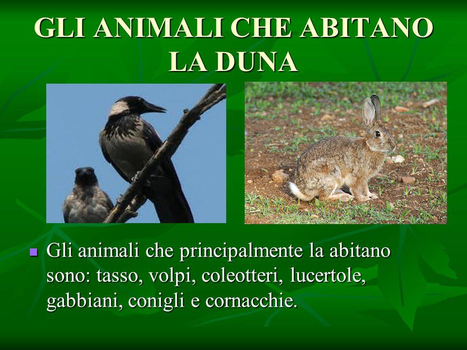 GLI ANIMALI CHE ABITANO LA DUNA Gli animali che principalmente la abitano sono: tasso, volpi, coleotteri, lucertole, gabbiani, conigli e cornacchie. G