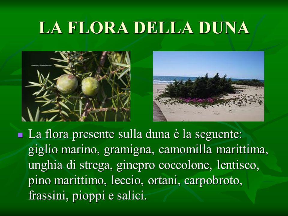 LA FLORA DELLA DUNA La flora presente sulla duna è la seguente: giglio marino, gramigna, camomilla marittima, unghia di strega, ginepro coccolone, len