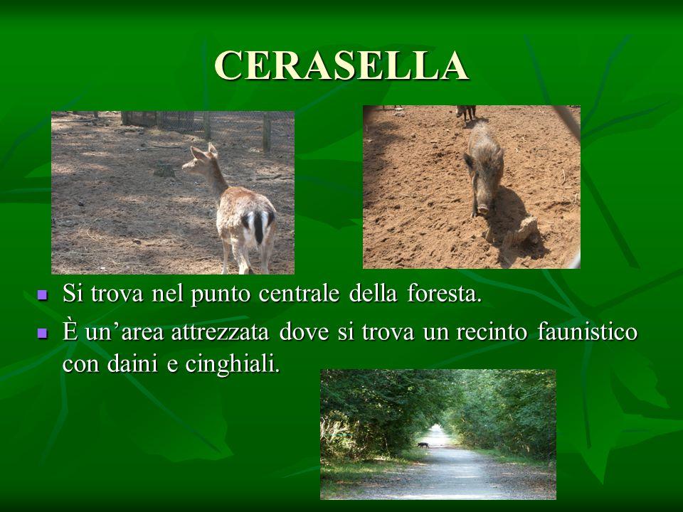 CERASELLA Si trova nel punto centrale della foresta. Si trova nel punto centrale della foresta. È un'area attrezzata dove si trova un recinto faunisti