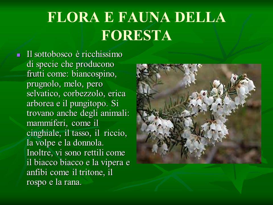 FLORA E FAUNA DELLA FORESTA Il sottobosco è ricchissimo di specie che producono frutti come: biancospino, prugnolo, melo, pero selvatico, corbezzolo,