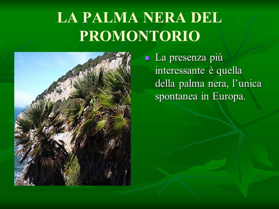 LA PALMA NERA DEL PROMONTORIO La presenza più interessante è quella della palma nera, l'unica spontanea in Europa. La presenza più interessante è quel
