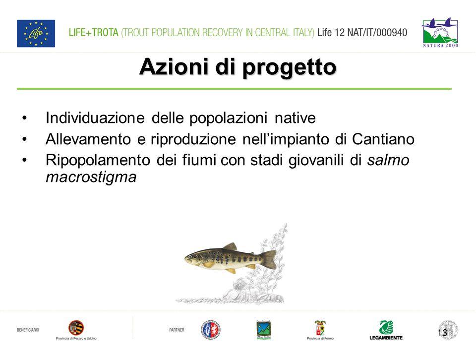 Azioni di progetto 13 Individuazione delle popolazioni native Allevamento e riproduzione nell'impianto di Cantiano Ripopolamento dei fiumi con stadi giovanili di salmo macrostigma