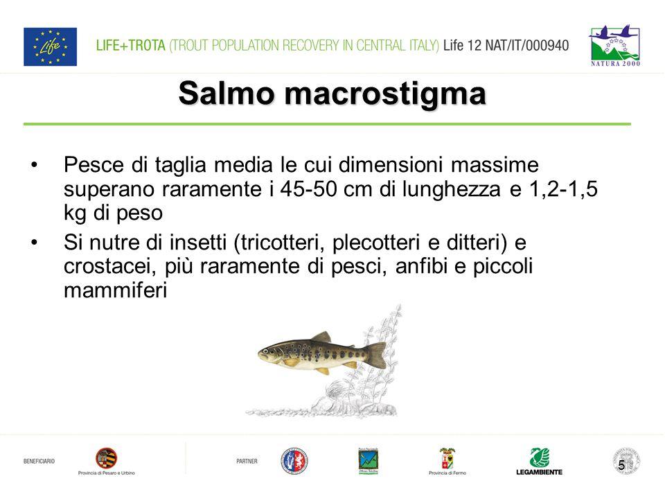 Salmo macrostigma Pesce di taglia media le cui dimensioni massime superano raramente i 45-50 cm di lunghezza e 1,2-1,5 kg di peso Si nutre di insetti (tricotteri, plecotteri e ditteri) e crostacei, più raramente di pesci, anfibi e piccoli mammiferi 5