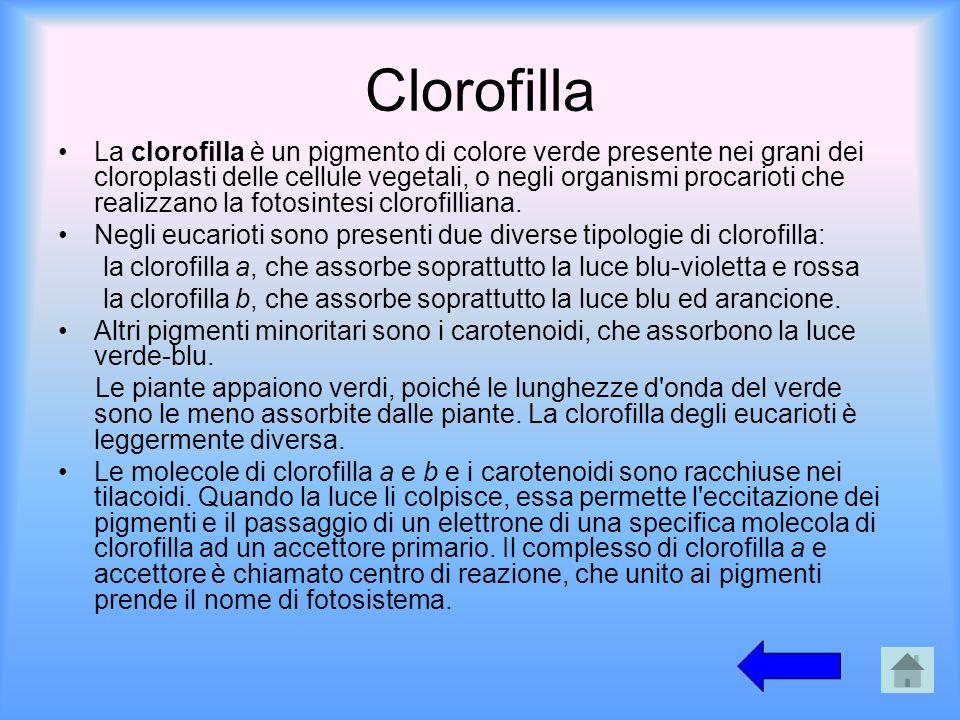 Clorofilla La clorofilla è un pigmento di colore verde presente nei grani dei cloroplasti delle cellule vegetali, o negli organismi procarioti che rea