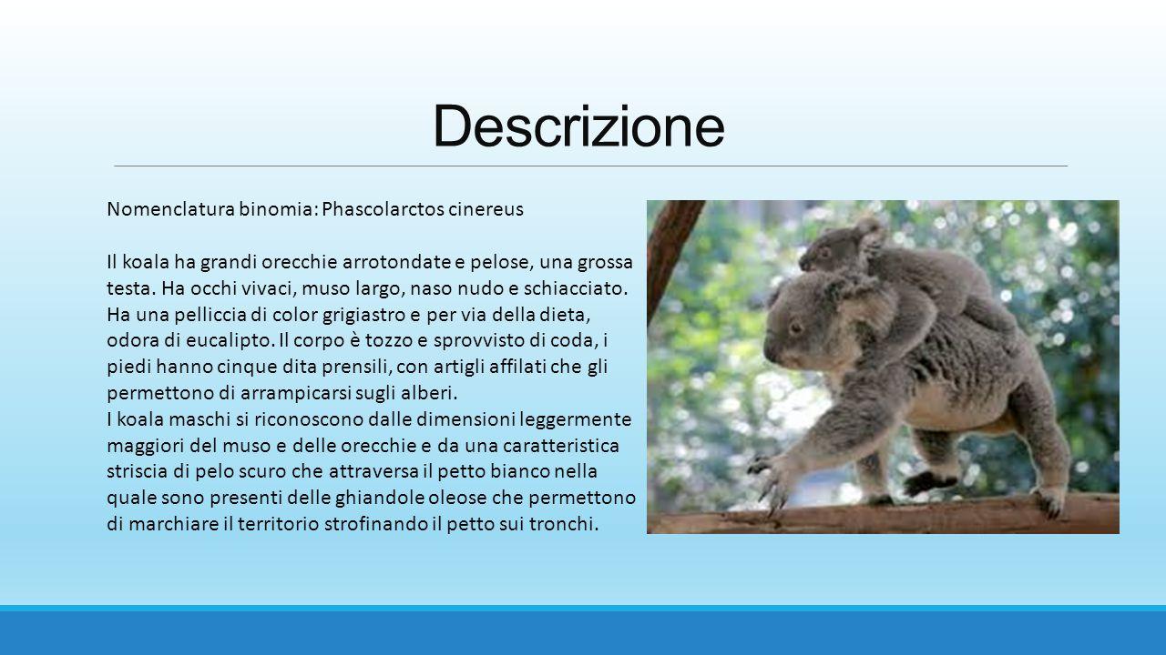 Descrizione Nomenclatura binomia: Phascolarctos cinereus Il koala ha grandi orecchie arrotondate e pelose, una grossa testa. Ha occhi vivaci, muso lar