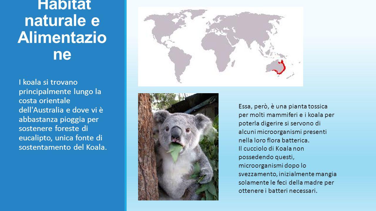 Comportamento Il koala passa quasi tutta la vita sugli alberi di eucalipto.