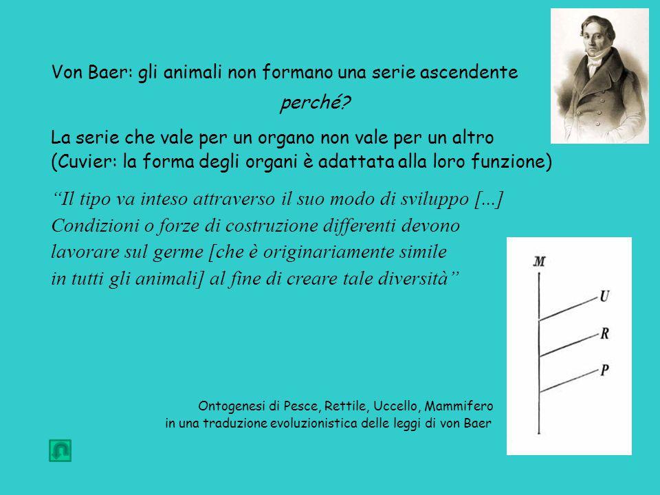 Von Baer: gli animali non formano una serie ascendente perché.