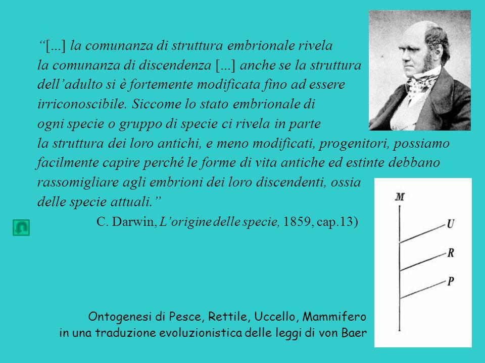 [...] la comunanza di struttura embrionale rivela la comunanza di discendenza [...] anche se la struttura dell'adulto si è fortemente modificata fino ad essere irriconoscibile.