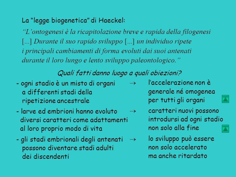 La legge biogenetica di Haeckel: L'ontogenesi è la ricapitolazione breve e rapida della filogenesi [...] Durante il suo rapido sviluppo [...] un individuo ripete i principali cambiamenti di forma evoluti dai suoi antenati durante il loro lungo e lento sviluppo paleontologico. Quali fatti danno luogo a quali obiezioni.