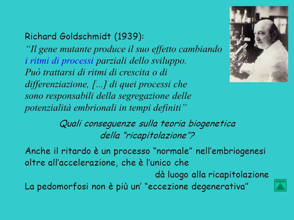 Richard Goldschmidt (1939): Il gene mutante produce il suo effetto cambiando i ritmi di processi parziali dello sviluppo.
