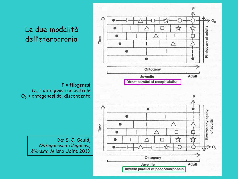 Da: S. J. Gould, Ontogenesi e filogenesi, Mimesis, Milano Udine 2013 Le due modalità dell'eterocronia P = filogenesi O A = ontogenesi ancestrale O D =