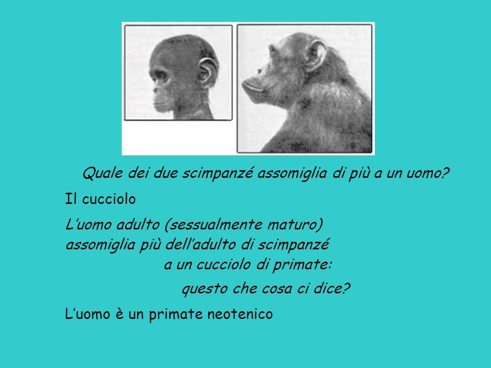 Quale dei due scimpanzé assomiglia di più a un uomo.
