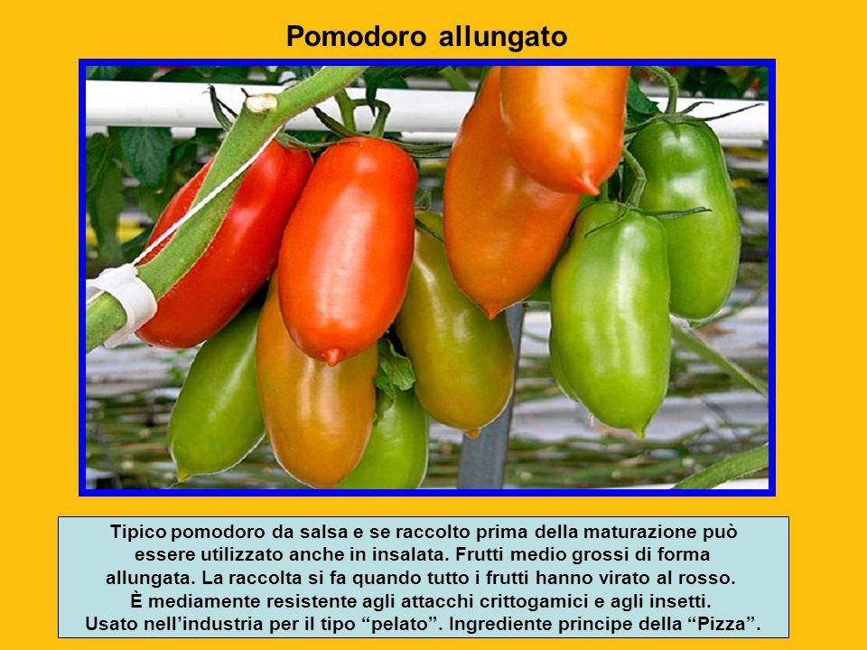 Nel suo ambiete d'origine l'America centro meridionale (zona compresa tra Messico e Perù) la Solanum lycopersicum è una pianta erbacea perenne a porta