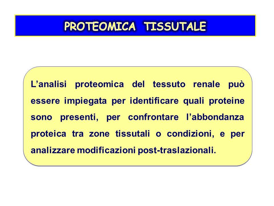 L'analisi proteomica del tessuto renale può essere impiegata per identificare quali proteine sono presenti, per confrontare l'abbondanza proteica tra