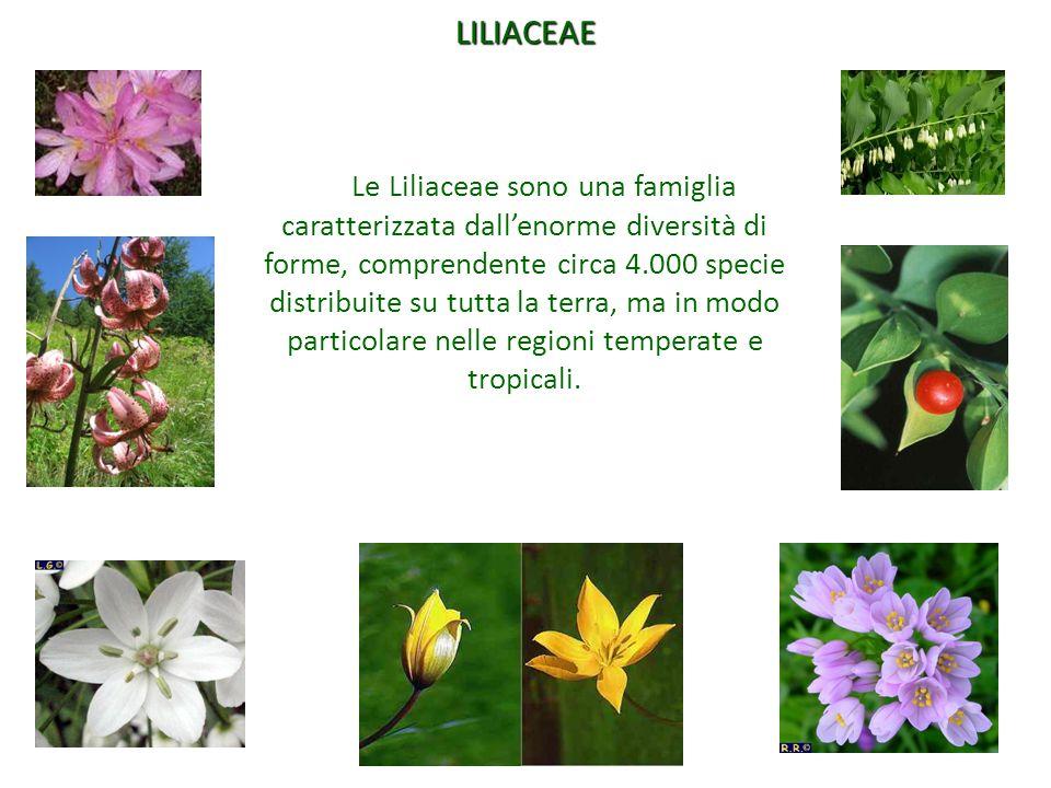 LILIACEAE Le Liliaceae sono una famiglia caratterizzata dall'enorme diversità di forme, comprendente circa 4.000 specie distribuite su tutta la terra,