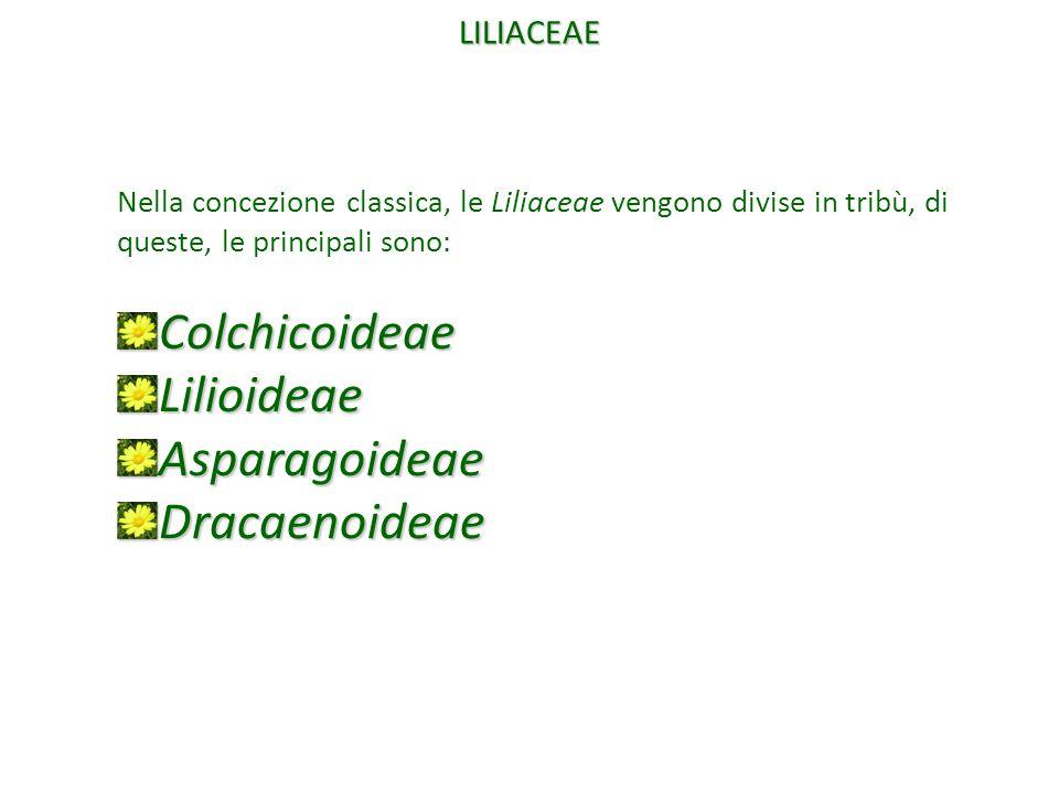 Nella concezione classica, le Liliaceae vengono divise in tribù, di queste, le principali sono:ColchicoideaeLilioideaeAsparagoideaeDracaenoideae LILIA