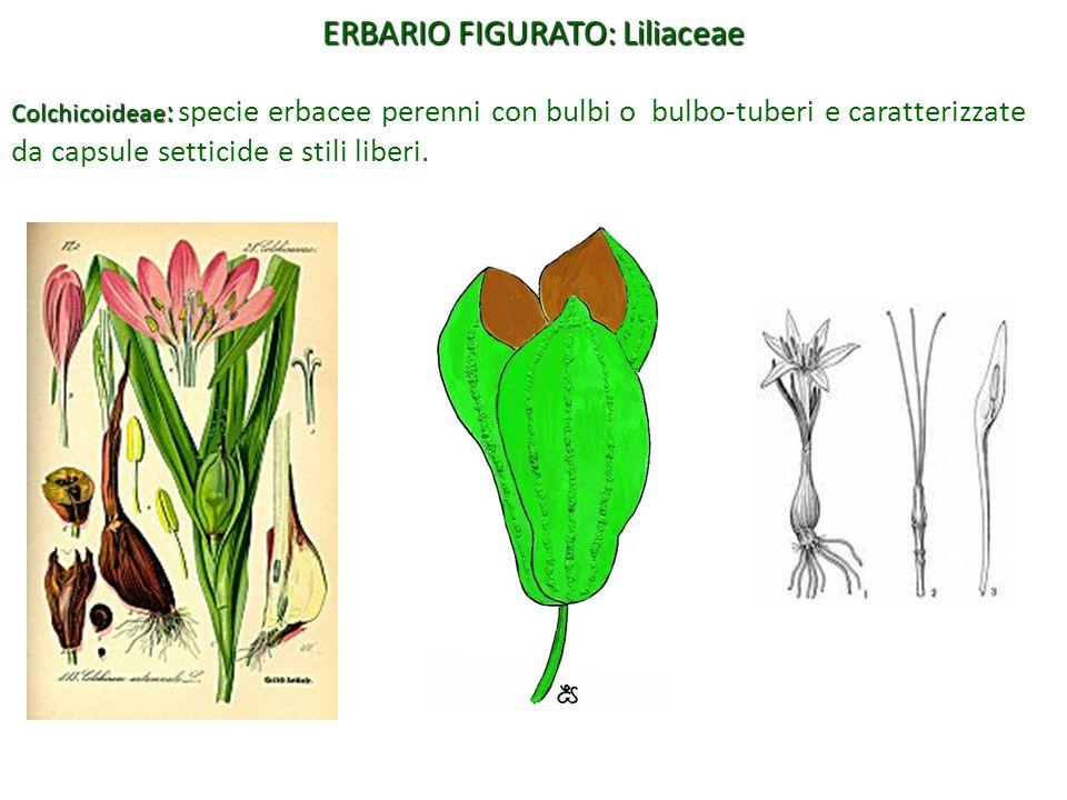Colchicoideae : Colchicoideae : specie erbacee perenni con bulbi o bulbo-tuberi e caratterizzate da capsule setticide e stili liberi. ERBARIO FIGURATO