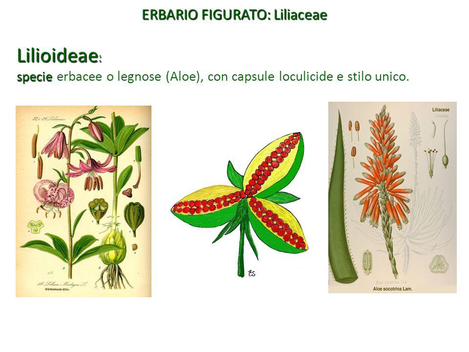 Lilioideae : specie specie erbacee o legnose (Aloe), con capsule loculicide e stilo unico. ERBARIO FIGURATO: Liliaceae