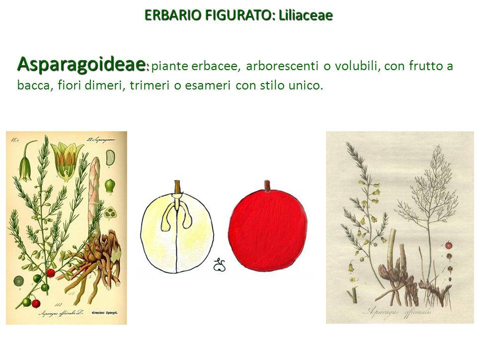 Asparagoideae : Asparagoideae : piante erbacee, arborescenti o volubili, con frutto a bacca, fiori dimeri, trimeri o esameri con stilo unico. ERBARIO
