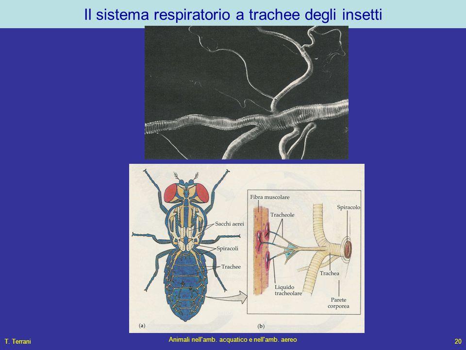 T. Terrani Animali nell'amb. acquatico e nell'amb. aereo 20 Il sistema respiratorio a trachee degli insetti