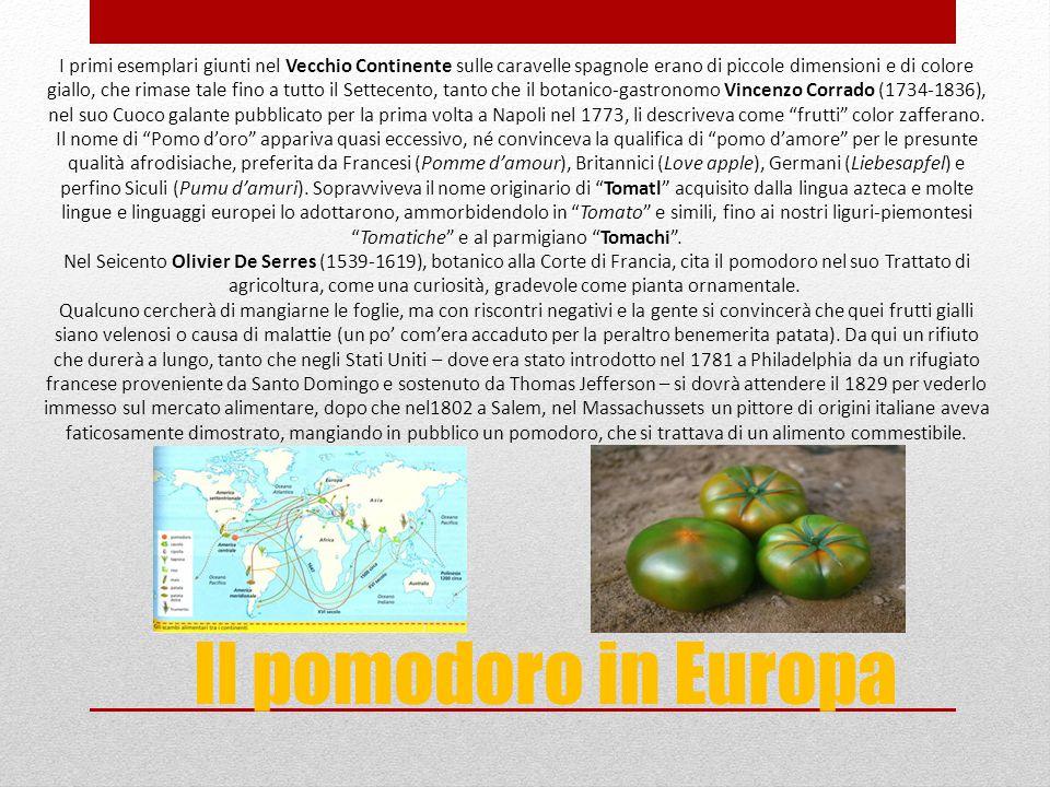 Il pomodoro in Europa I primi esemplari giunti nel Vecchio Continente sulle caravelle spagnole erano di piccole dimensioni e di colore giallo, che rim