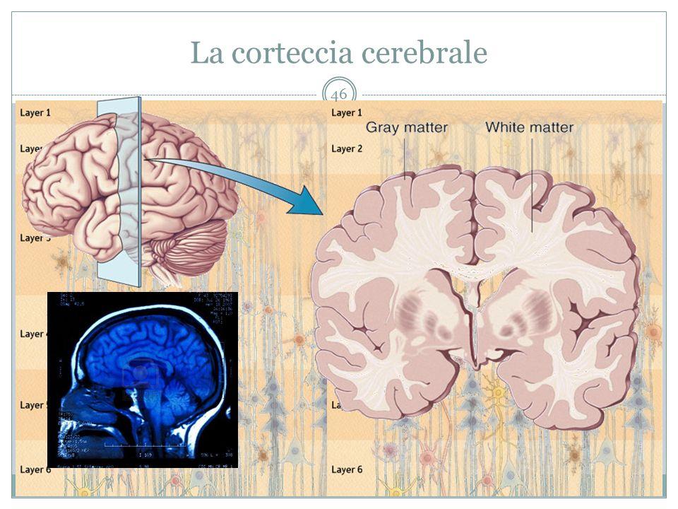 La corteccia cerebrale 46
