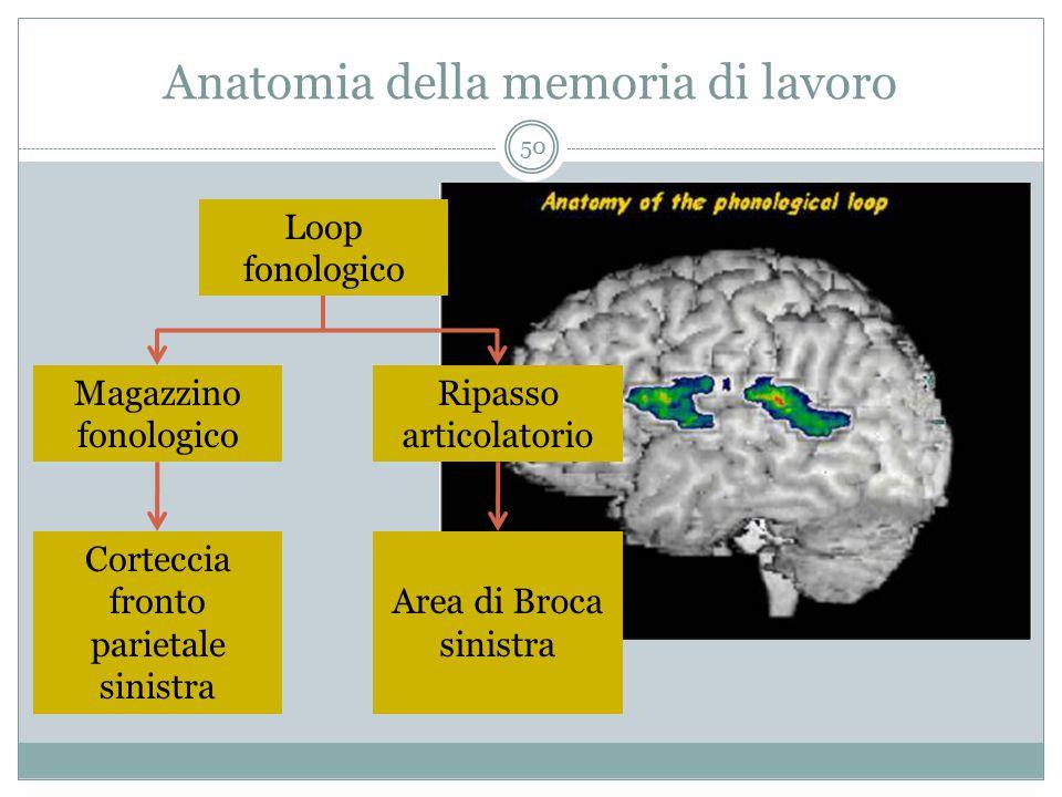 Anatomia della memoria di lavoro Loop fonologico Magazzino fonologico Ripasso articolatorio Corteccia fronto parietale sinistra Area di Broca sinistra