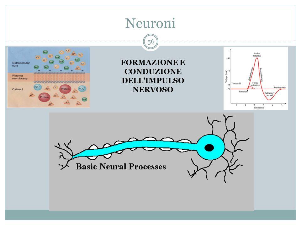 Neuroni FORMAZIONE E CONDUZIONE DELL'IMPULSO NERVOSO 56