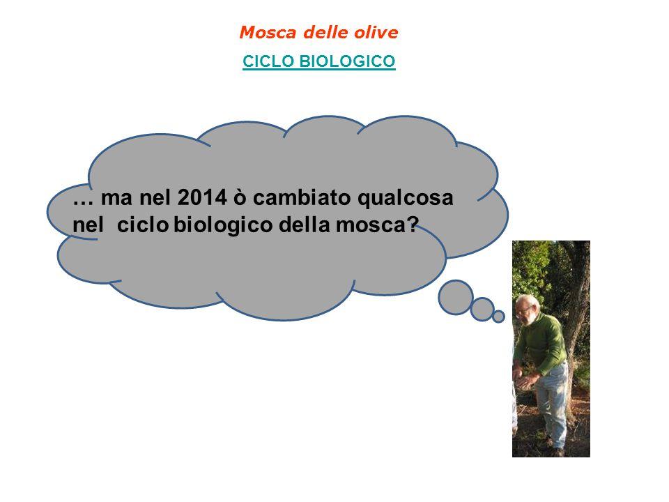 Mosca delle olive CICLO BIOLOGICO … ma nel 2014 ò cambiato qualcosa nel ciclo biologico della mosca?
