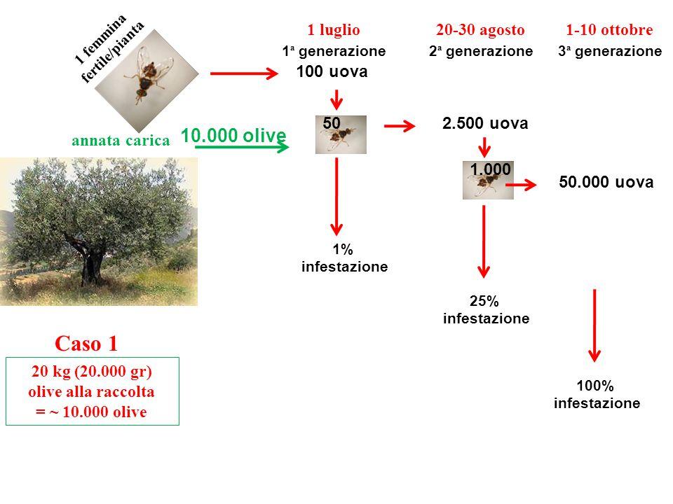 Caso 1 annata carica 20 kg (20.000 gr) olive alla raccolta = ~ 10.000 olive 10.000 olive 1 femmina fertile/pianta 1 luglio 50 100 uova 1% infestazione 1 ª generazione 1.000 2.500 uova 20-30 agosto 2 ª generazione 25% infestazione 1-10 ottobre 3 ª generazione 50.000 uova 100% infestazione