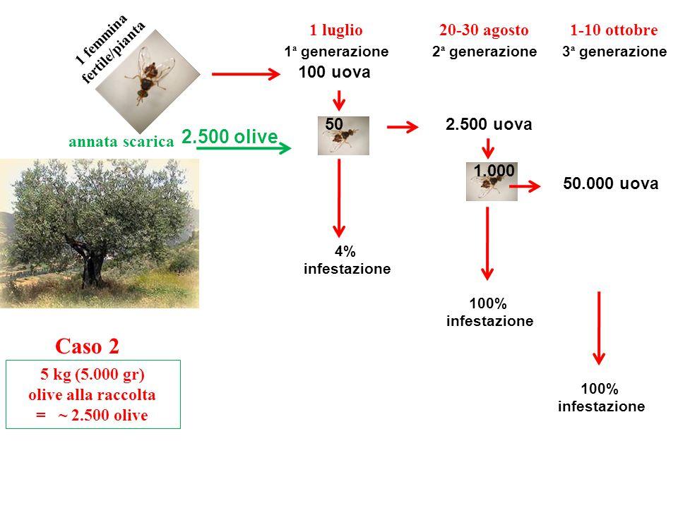 Caso 2 annata scarica 5 kg (5.000 gr) olive alla raccolta = ~ 2.500 olive 2.500 olive 1 femmina fertile/pianta 1 luglio 50 100 uova 4% infestazione 1 ª generazione 1.000 2.500 uova 20-30 agosto 2 ª generazione 100% infestazione 1-10 ottobre 3 ª generazione 50.000 uova 100% infestazione