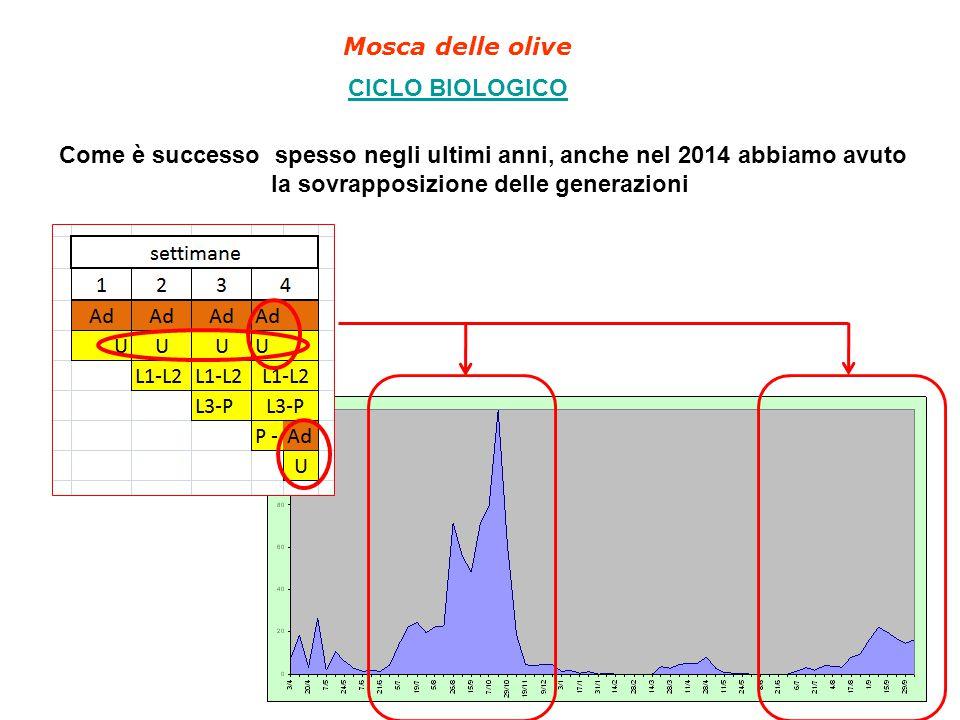 Mosca delle olive CICLO BIOLOGICO Come è successo spesso negli ultimi anni, anche nel 2014 abbiamo avuto la sovrapposizione delle generazioni