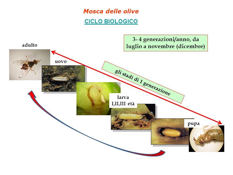 Mosca delle olive CICLO BIOLOGICO gli stadi di 1 generazione 3- 4 generazioni/anno, da luglio a novembre (dicembre) adulto uovo larva I,II,III età pupa