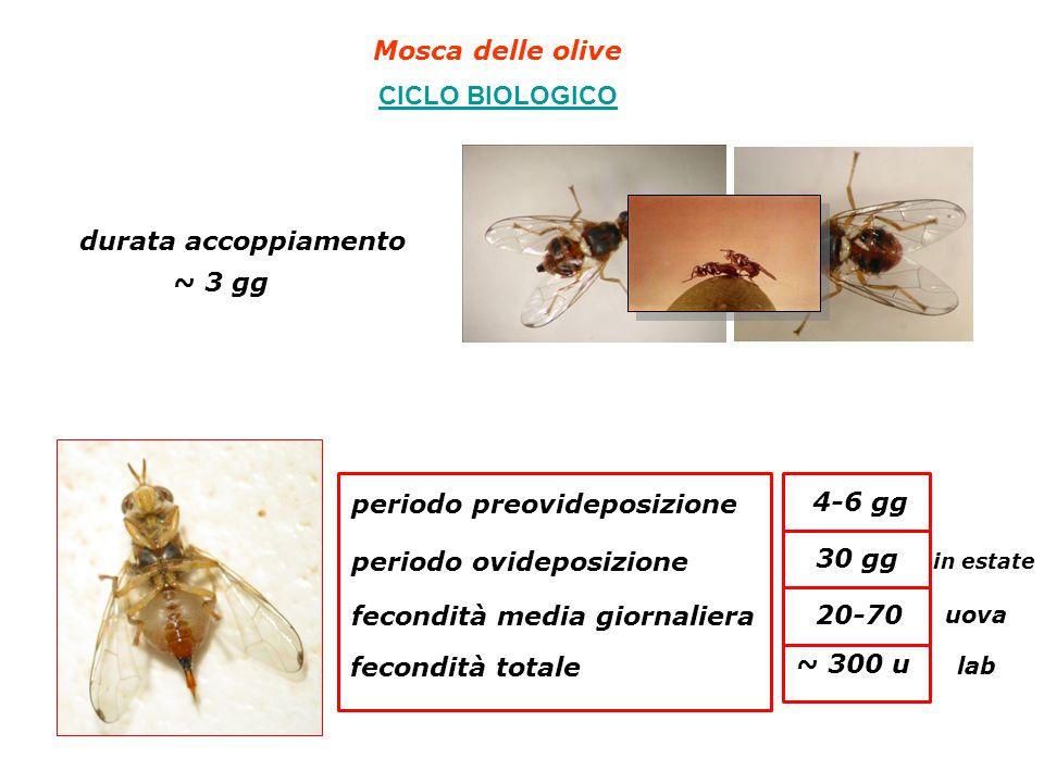 Mosca delle olive CICLO BIOLOGICO durata accoppiamento periodo preovideposizione periodo ovideposizione fecondità media giornaliera fecondità totale ~ 3 gg 4-6 gg 30 gg in estate 20-70 uova ~ 300 u lab