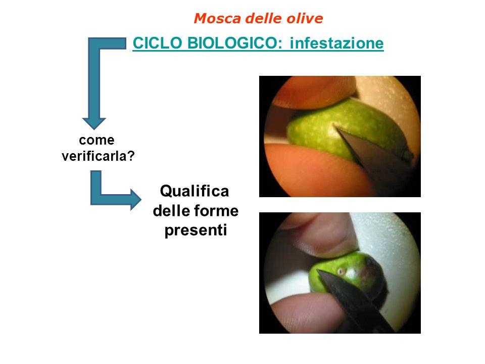 Mosca delle olive CICLO BIOLOGICO: infestazione come verificarla? Qualifica delle forme presenti