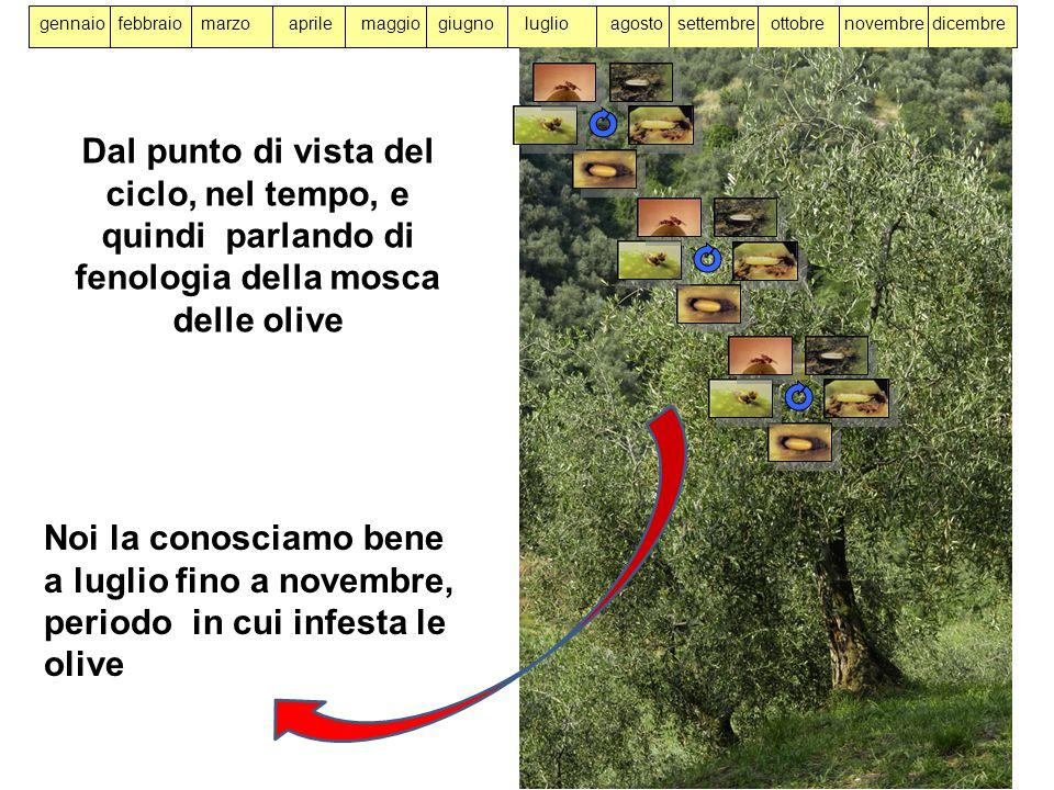 gennaio febbraio marzo aprile maggio giugno luglio agosto settembre ottobre novembre dicembre Dal punto di vista del ciclo, nel tempo, e quindi parlando di fenologia della mosca delle olive Noi la conosciamo bene a luglio fino a novembre, periodo in cui infesta le olive