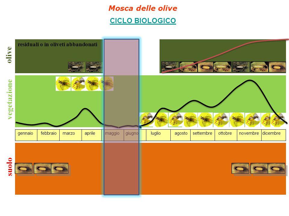 suolo olive residuali o in oliveti abbandonati produzione annuale gennaio febbraio marzo aprile maggio giugno luglio agosto settembre ottobre novembre dicembre vegetazione Mosca delle olive CICLO BIOLOGICO