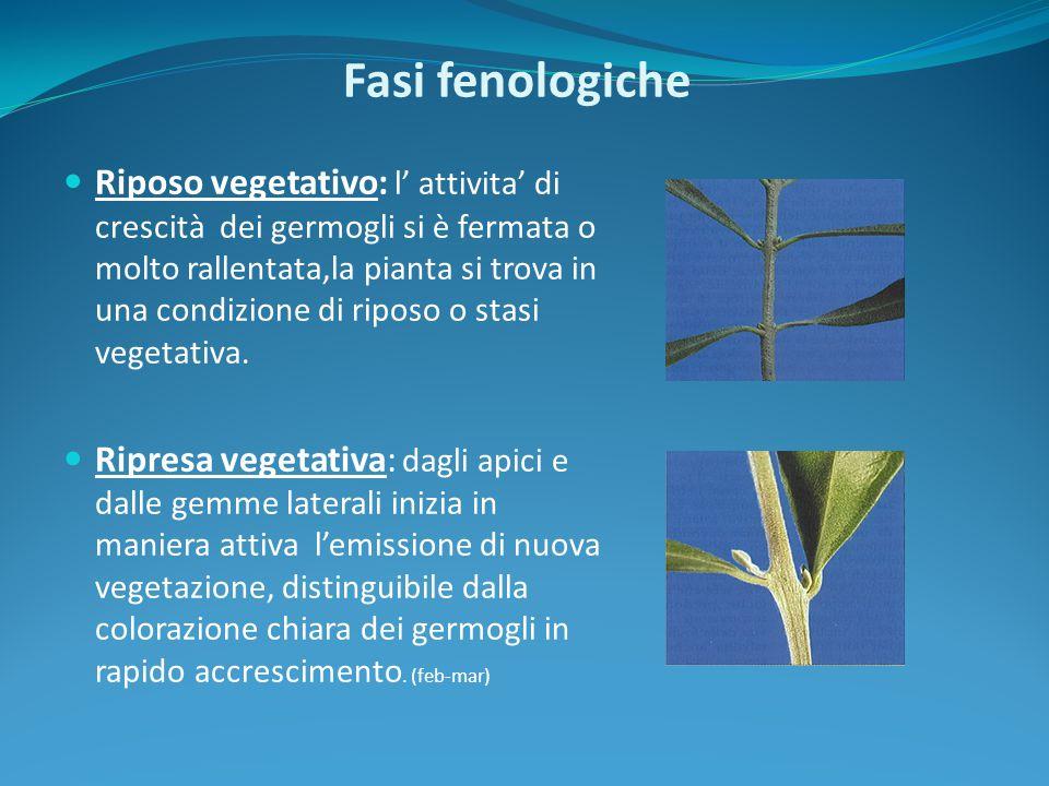Fasi fenologiche Riposo vegetativo: l' attivita' di crescità dei germogli si è fermata o molto rallentata,la pianta si trova in una condizione di ripo