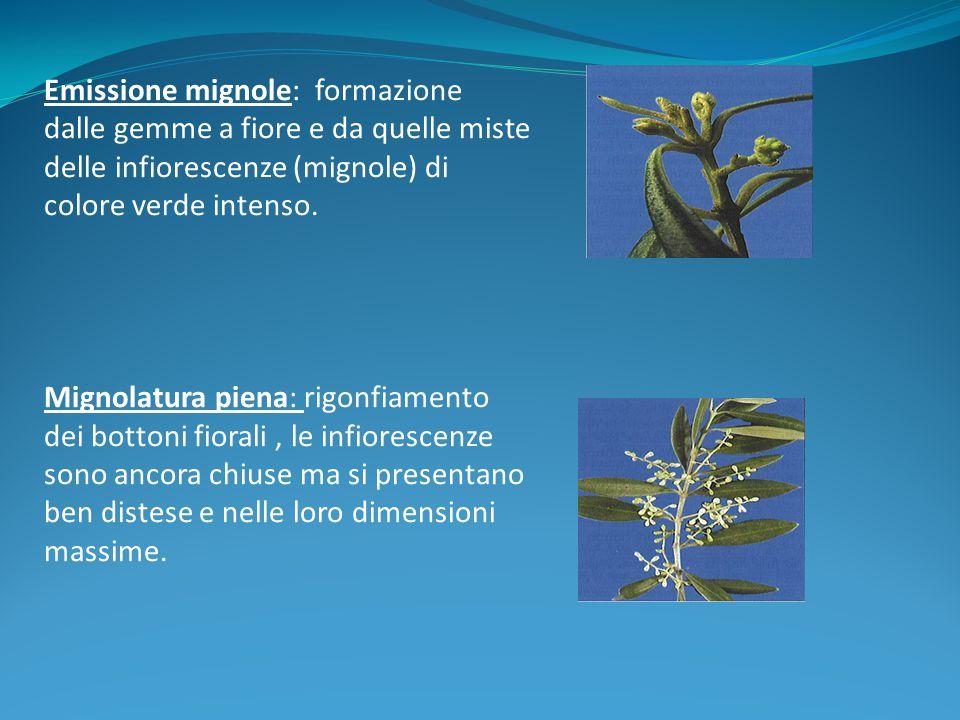 Emissione mignole: formazione dalle gemme a fiore e da quelle miste delle infiorescenze (mignole) di colore verde intenso. Mignolatura piena: rigonfia