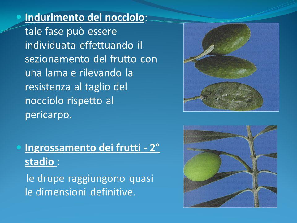 Indurimento del nocciolo: tale fase può essere individuata effettuando il sezionamento del frutto con una lama e rilevando la resistenza al taglio del