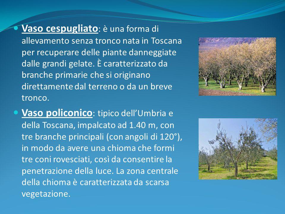 Vaso cespugliato : è una forma di allevamento senza tronco nata in Toscana per recuperare delle piante danneggiate dalle grandi gelate. È caratterizza