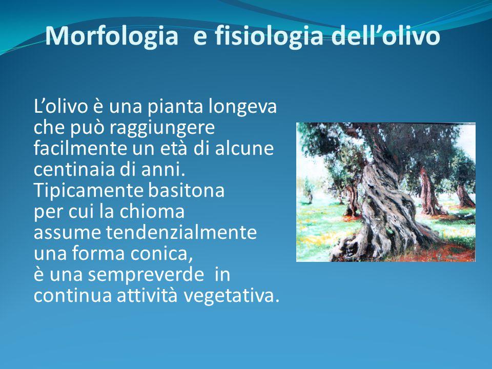 L'olivo è una pianta longeva che può raggiungere facilmente un età di alcune centinaia di anni. Tipicamente basitona per cui la chioma assume tendenzi