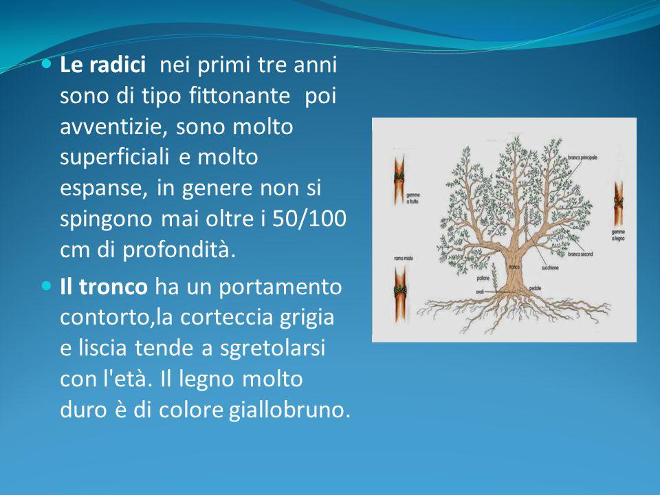 2)TERMINI E CONCETTI Interazione Morfologia e fisiologia dell'olivo Conoscenza delle fasi fenologiche.
