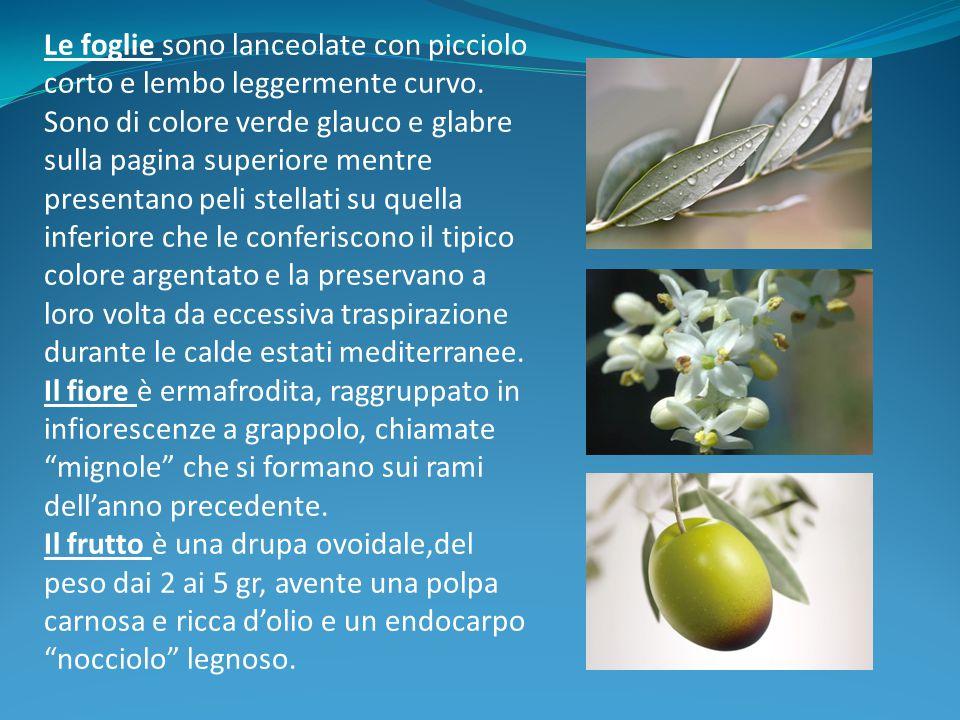 Tipologie di rami dell'olivo In genere i frutti dell'olivo sono portati sui rametti di un anno della lunghezza di 25-50 cm, più raramente su quelli di due anni e mai sui rametti più vecchi: la potatura di produzione deve quindi tenere conto di questa diversa predisposizione a seconda dell'età.