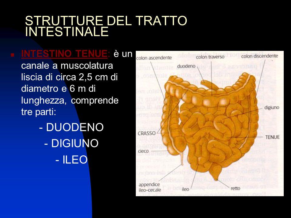 STRUTTURE DEL TRATTO INTESTINALE INTESTINO TENUE: è un canale a muscolatura liscia di circa 2,5 cm di diametro e 6 m di lunghezza, comprende tre parti