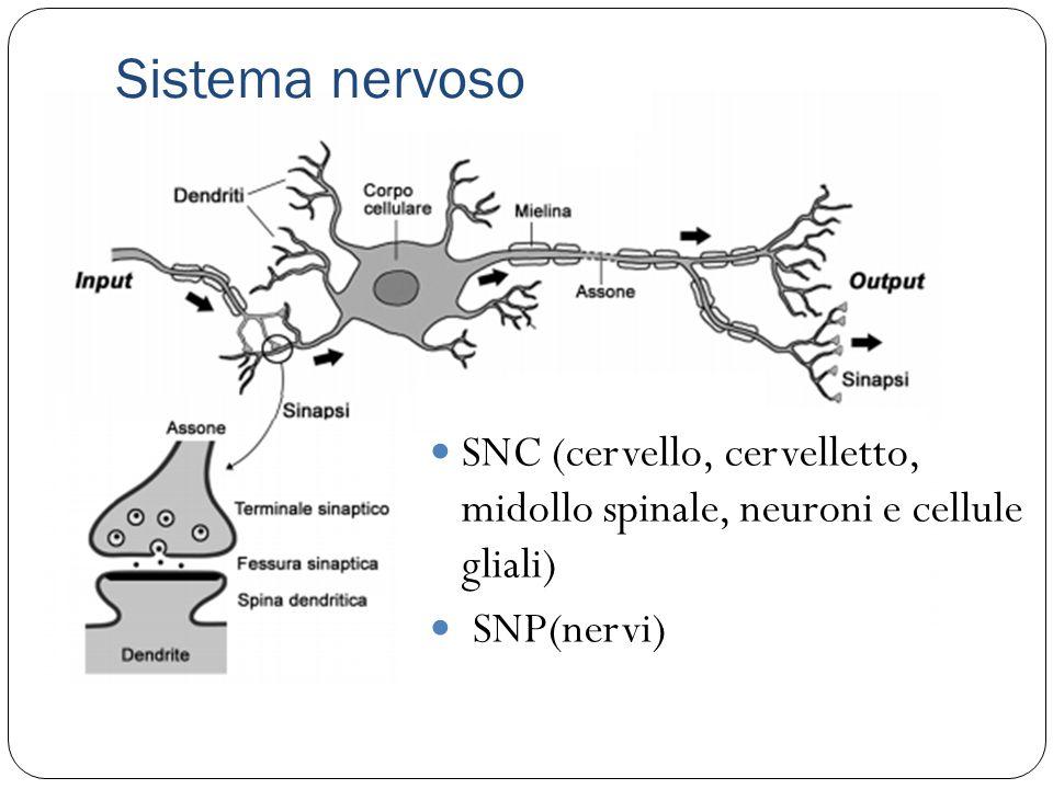 Sistema nervoso SNC (cervello, cervelletto, midollo spinale, neuroni e cellule gliali) SNP(nervi)
